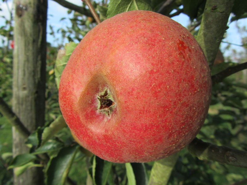 pomme calville rouge